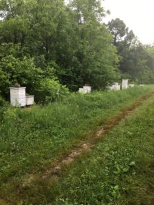 Honeybee hives containing many bees