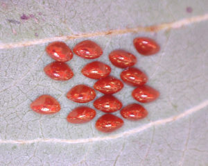 Insect eggs on underside of a leaf