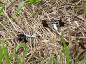 Two libellulid dragonflies resting in grass