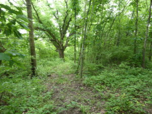 Oak-hickory forest with much low vegetation