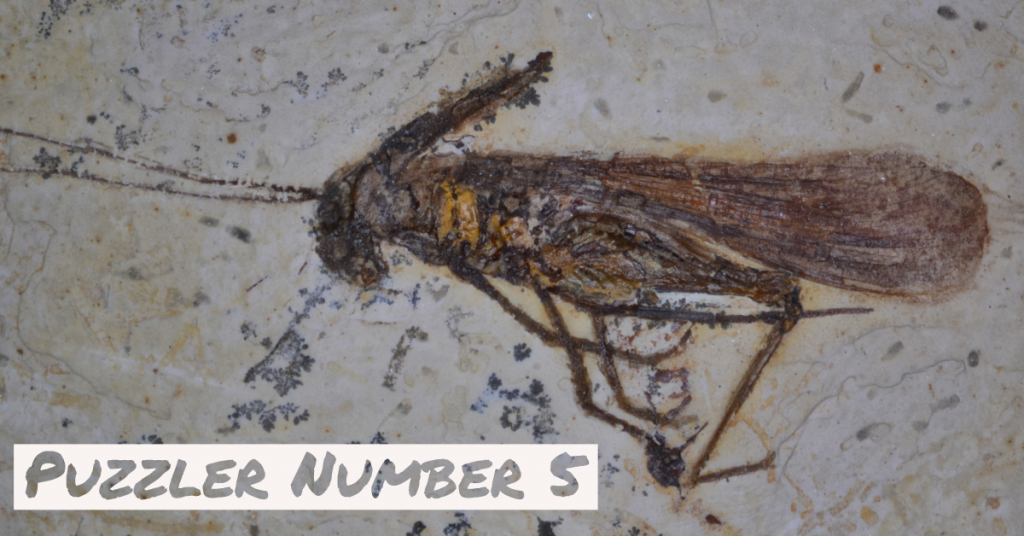 Fossil insect from northeastern Brazil.
