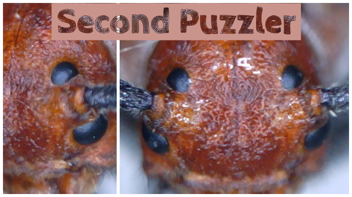 Close up view of the head of a beetle (two different images - left and right)